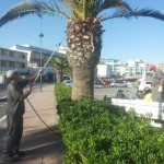 trattamento fitosanitario palme lungo mare