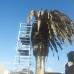 Potatura palma infetta